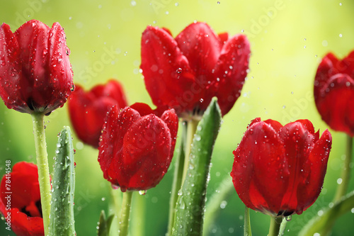 Photo  Tulip flowers