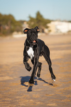 Great Danes Black Dog Running On The Beach