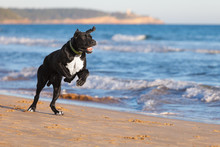 Great Danes Black Dog Running On The Beach