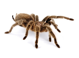 Fototapeta Chilean Rose Hair Tarantula