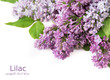Lilac bunch isolated on white background
