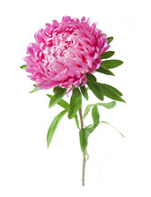 Pink Aster Flower Closeup Isol...