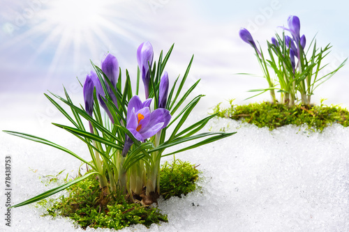 Wall Murals Crocuses Krokus