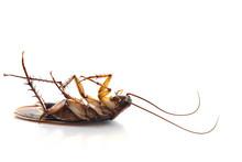 Dead Common Cockroach