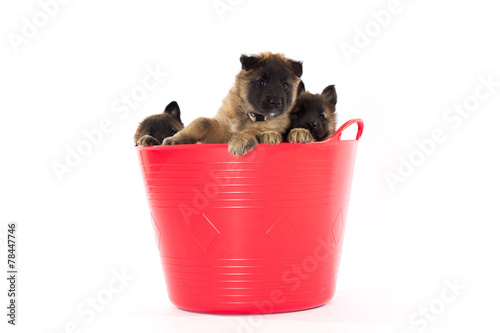 Fotografía  Three Belgian Shepherd Tervuren puppy's in red bucket