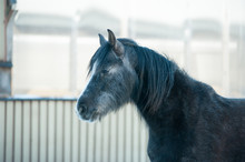 The Black Horse With Long Fur ...