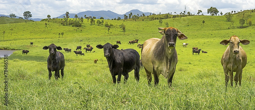 In de dag Australië Australian Agriculture Beef Cattle Panorama Landscape