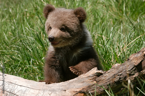 Fotografie, Obraz  Grizzly bear cub sitting on the log