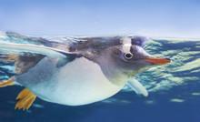 Gentoo Penguin Swimming Underw...