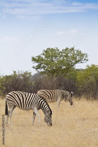 Fototapety, obrazy: Zebras am fressen