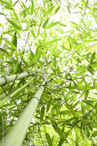 Foresta di bambù - 78551351