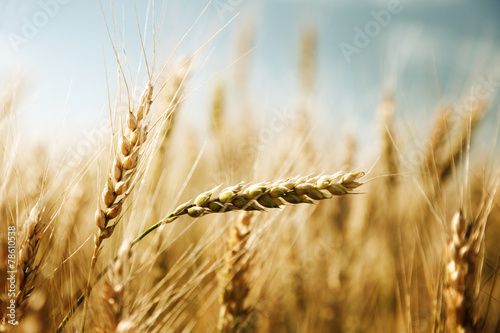 Printed kitchen splashbacks Beige golden wheat field and sunny day