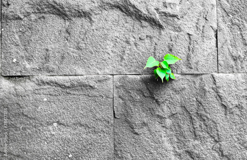 Photo  pipal leaf growing through crack in old sand stone wall, surviva