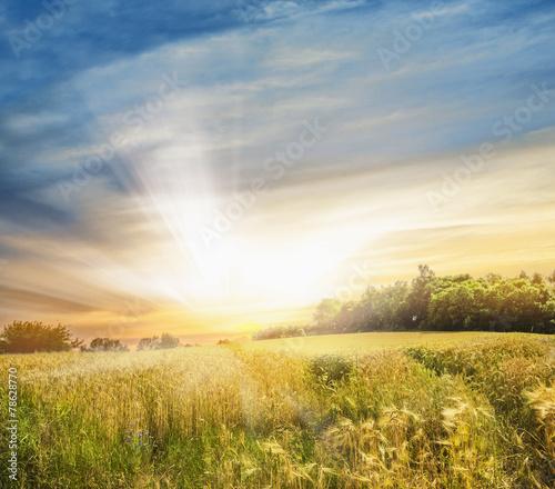 Canvas Prints Honey Rye field at sunset, landscape