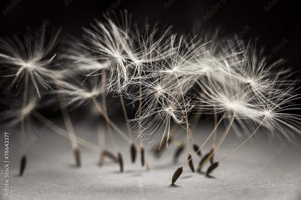Fototapety, obrazy: Dandelion seeds standing