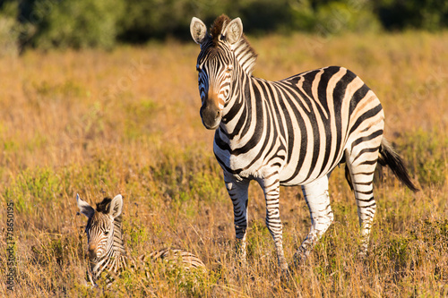 Wall Murals Zebra The Plains Zebra (Equus quagga)