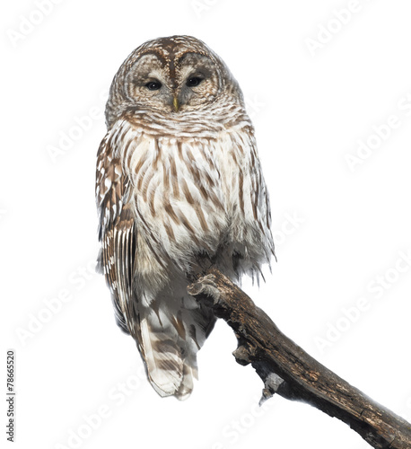 Keuken foto achterwand Uil Barred Owl in Winter on White Background