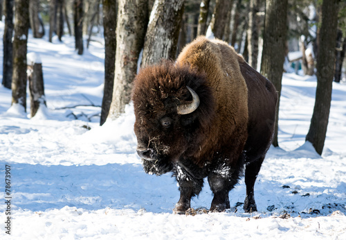 In de dag Bison American Bison (Buffalo Meadow) in Winter