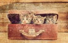 Kittens Sitting In Suitcase, Vintage Image