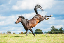 Beautiful Bay Horse Throwing Hind Legs In The Air
