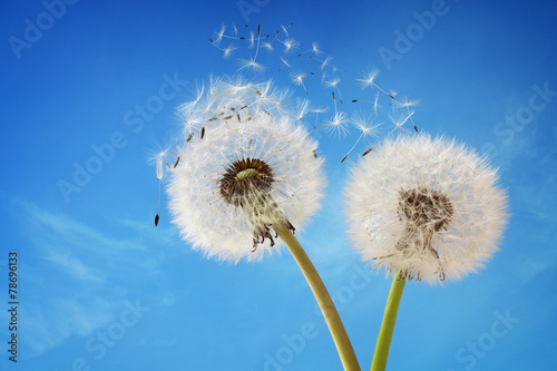 Door stickers Dandelion Dandelion clock dispersing seed