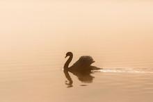 Mute Swan In Misty Morning Light