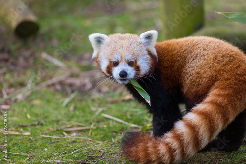 Red Panda Eating Leaf Wallpaper Mural