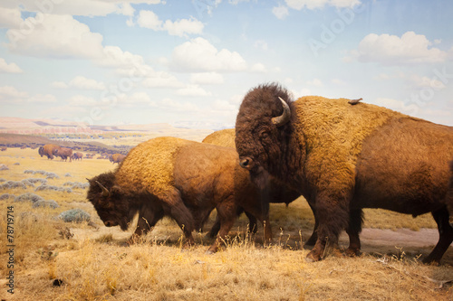 Photo sur Toile Buffalo herd of bison