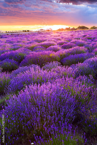 Poster Prune Lavender field in Tihany, Hungary