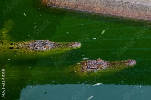 Foto op Plexiglas Krokodil crocodile swimming