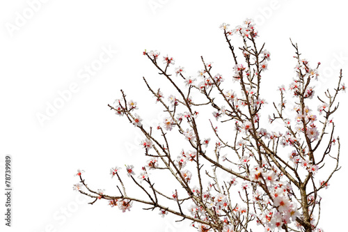 Cherry tree full of flower blossoms isolated on white background