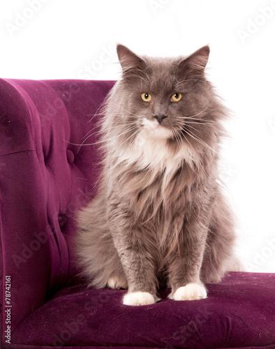 chat main coon sur un fauteuil bordeaux