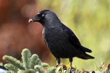 Jackdaw (corvus Monedula) Feed...