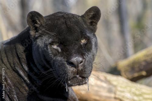 In de dag Panter Jaguar (Panthera onca)