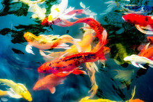 Koi Fish In Pond,colorful Natu...