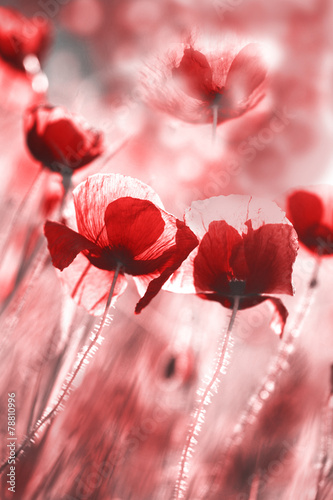 Aluminium Prints poppy