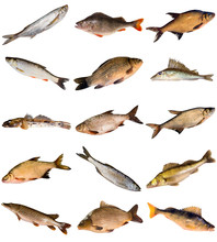 Collection Of Fresh Water Fish...