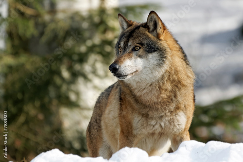 Foto  Wolf (Canis Lupus)