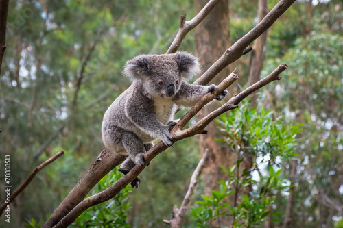 Recess Fitting Koala A wild Koala climbing a tree
