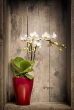 Mini Orchidee