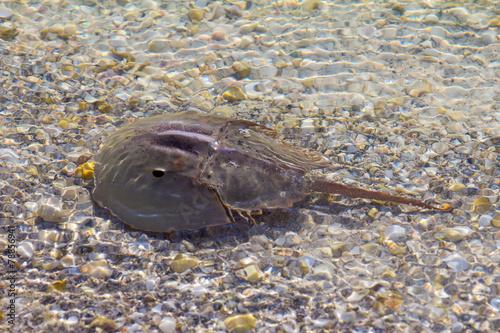 Photo  Horseshoe crab in shallow water