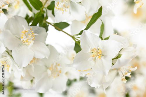 Fotografie, Obraz  Branch of jasmine.