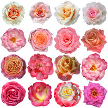 16 Rose Flowers Isolated On Wh...