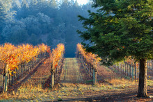 Vineyard In Autumn Lit By Morn...