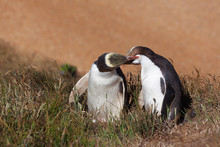 Two Yellow Eyed Penguins Kissing