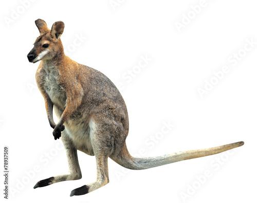 Spoed Foto op Canvas Kangoeroe 포유류 캥거루
