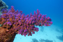 Coral Reef With Pink Pocillopora Coral In Tropical Sea