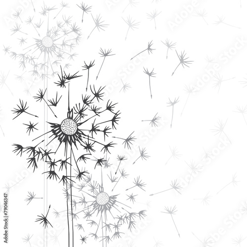 Obraz w ramie Dandelions . Hand-drawn floral background, monochrome vector il