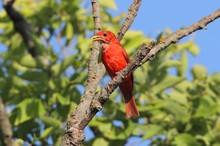 Male Summer Tanager (Piranga Rubra)