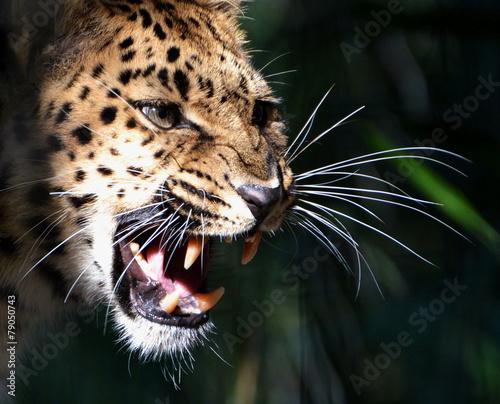 Poster Leopard Amur Leopard